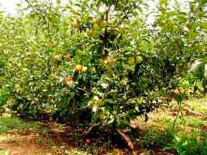 Яблоня для дачи