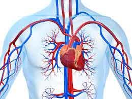 Сердце и здоровые стенки сосудов