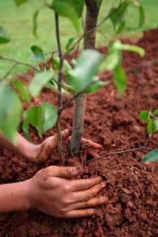 Правила посадки плодовых деревьев